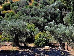 Olivenhain auf Samos